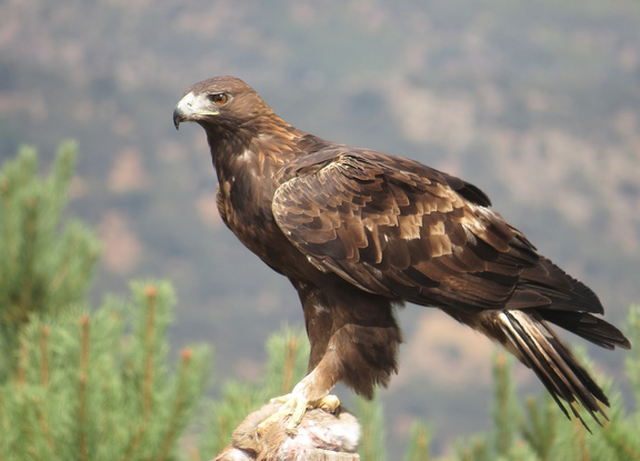 Águila Real, Se Reproduce Y Conserva