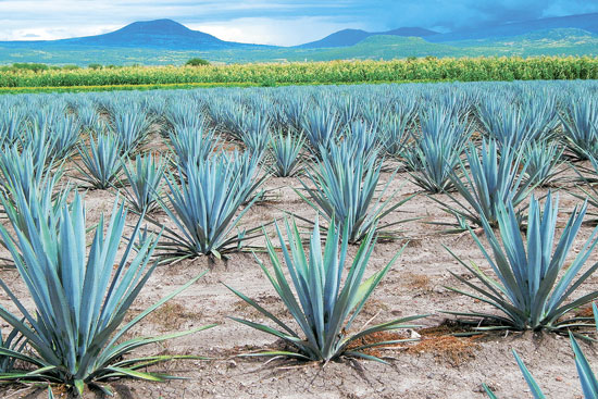 Además del tequila, el agave detonaría nuevas industrias mexicanas: Conacyt