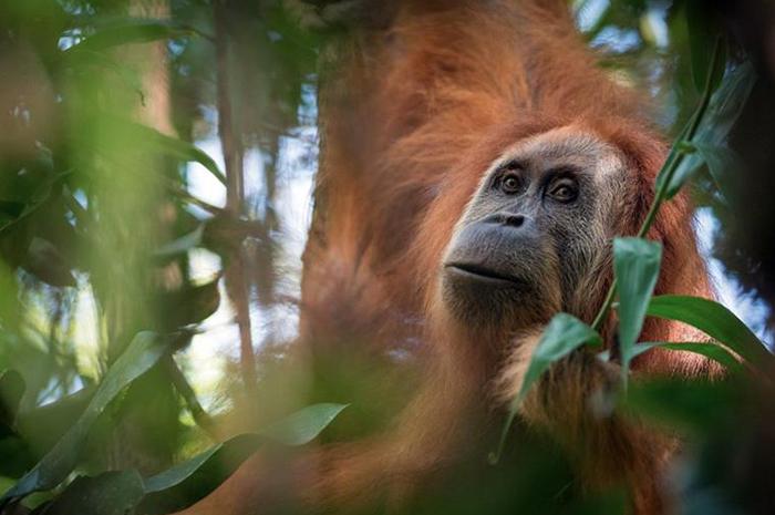 Descubren otra especie de orangután que sólo está conformada por 800 individuos