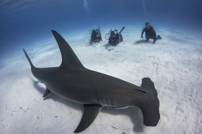 Identifican un sitio de crianza de tiburones martillo en Galápagos