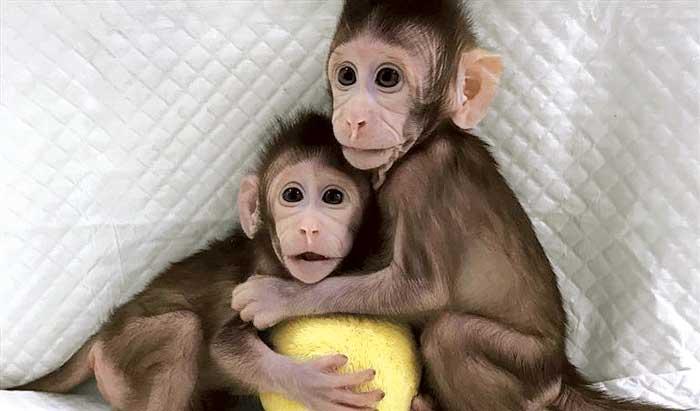 Clonan a dos primates con la receta que creó a Dolly