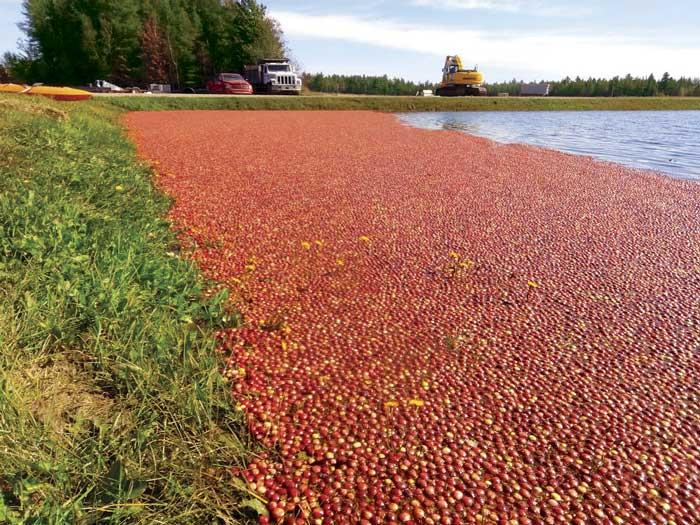 Nostalgia y frío abren la temporada del arándano en Canadá