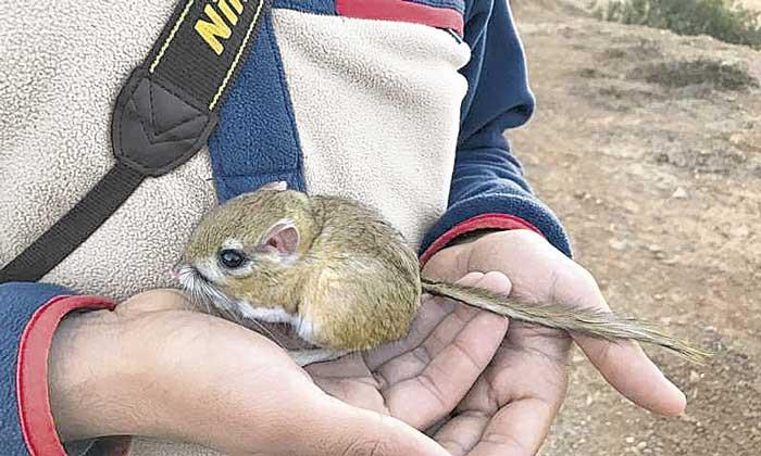 Hallan colonia de rata canguro; la especie había sido declarada extinta