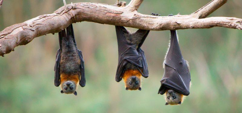 Impulsan conservación de siete especies de murciélagos en Morelos