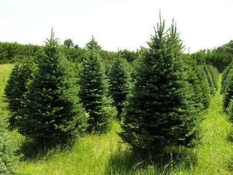Baja la venta de árboles navideños por incremento en precios